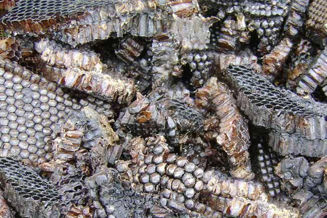 Пчелиная мерва фото