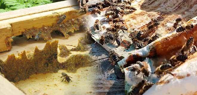 Как пчелы делают прополис