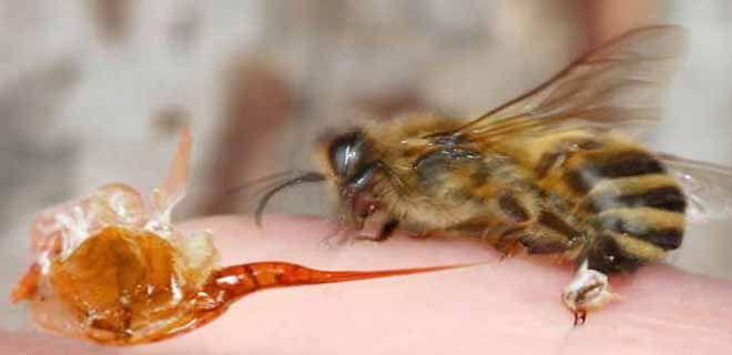 Пчелиный яд и жало