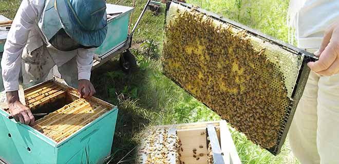 Объединение двух пчелиных семей