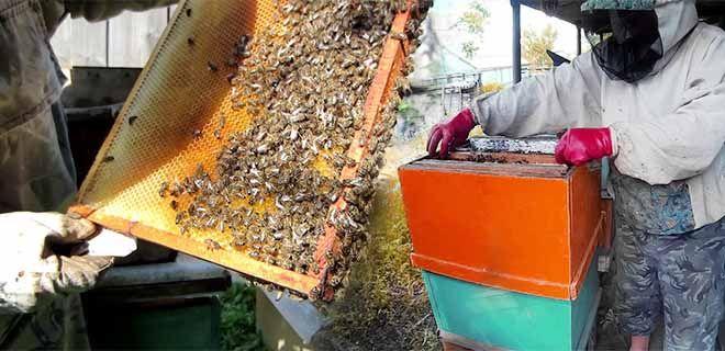 Сокращение пчелиного гнезда