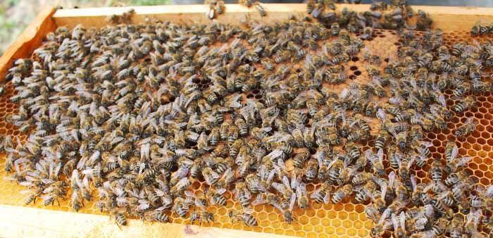 Формирования сильной пчелосемьи