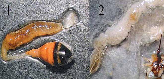 Желудочно-кишечный тракт пчелы Инфицированной спорами Nosema apis