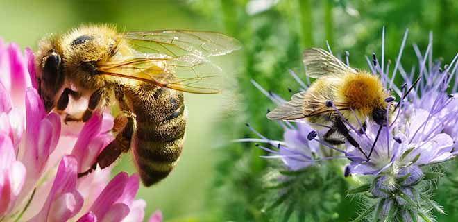 Пчелы собирают нектар с медоносов