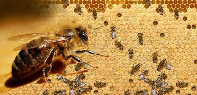Пчелы карника