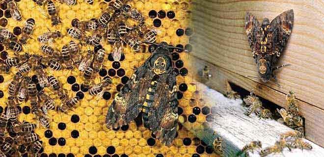 Бражник мертвая голова и пчелы