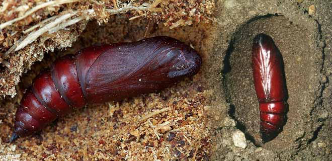 Личинка бражники мертвая голова