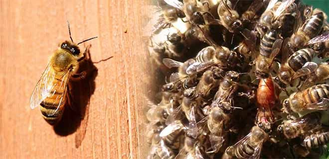 Пчела бакфаст