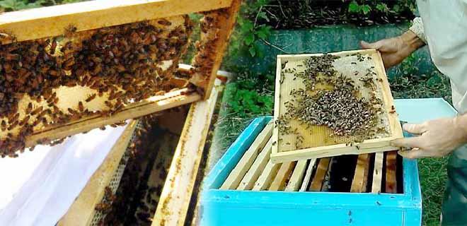 Отводок из молодых пчёл