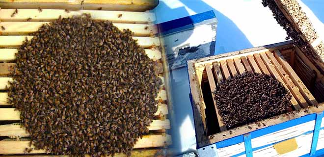 Пчелы в ульи зимой