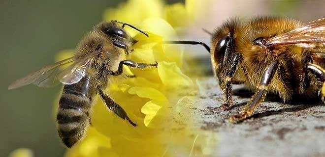 Пчела среднерусская