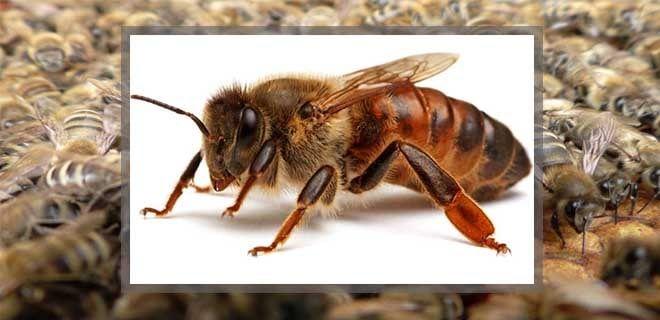 Пчеломатка кавказской пчелы