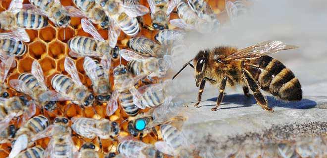 Северокавказская порода пчёл