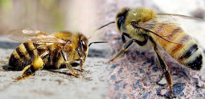 Жёлтая кавказская пчела