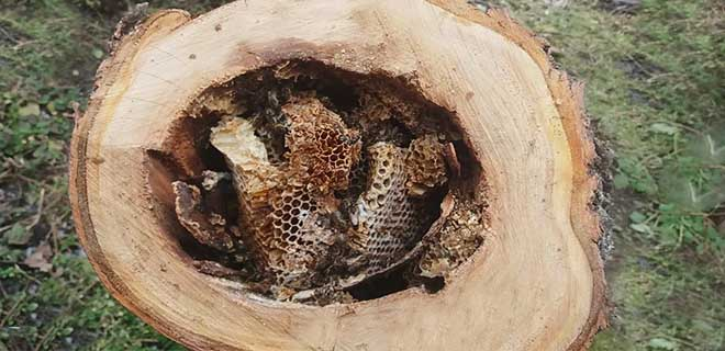 Дикие пчелы в колоде