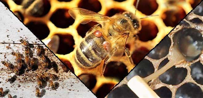 Пчелиные болезни