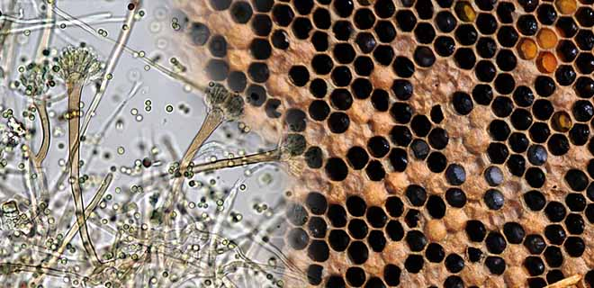 Аспергиллез у пчел