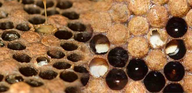 Каменный расплод у пчел